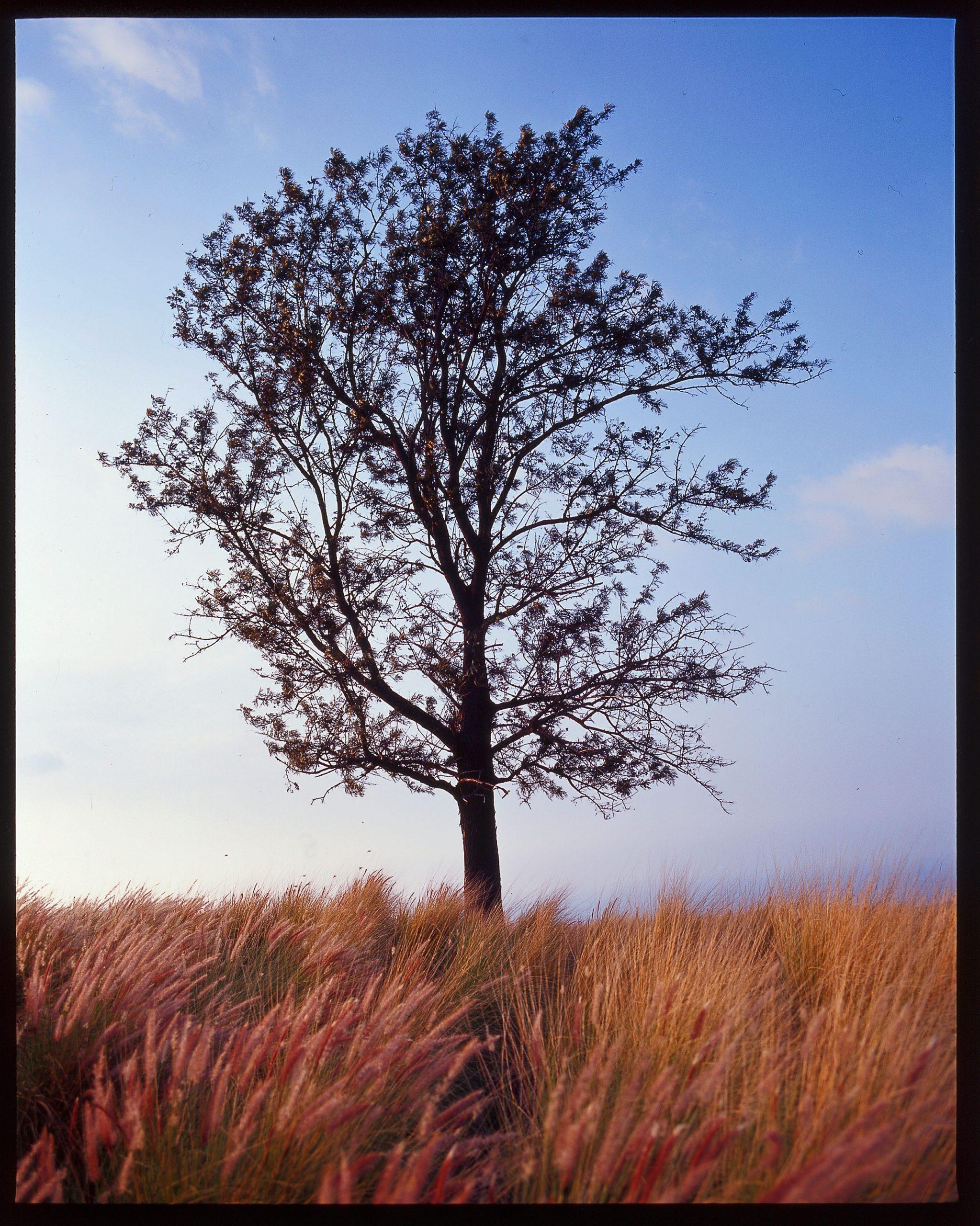 Tree at Nanea Golf Club