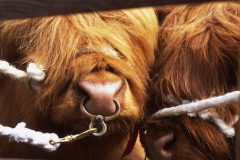 Highland cattle tied to a pen between judging at the Beith show in Ayrshire. Photo by Kieran Dodds.