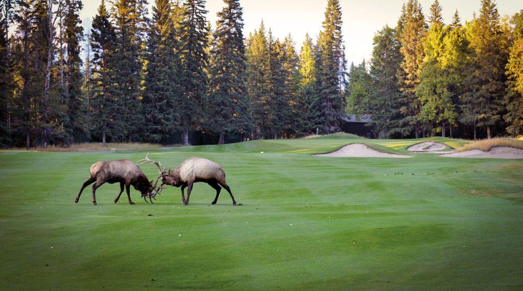 Moose fight on the fairway. Photo by D.J. Piehowski.