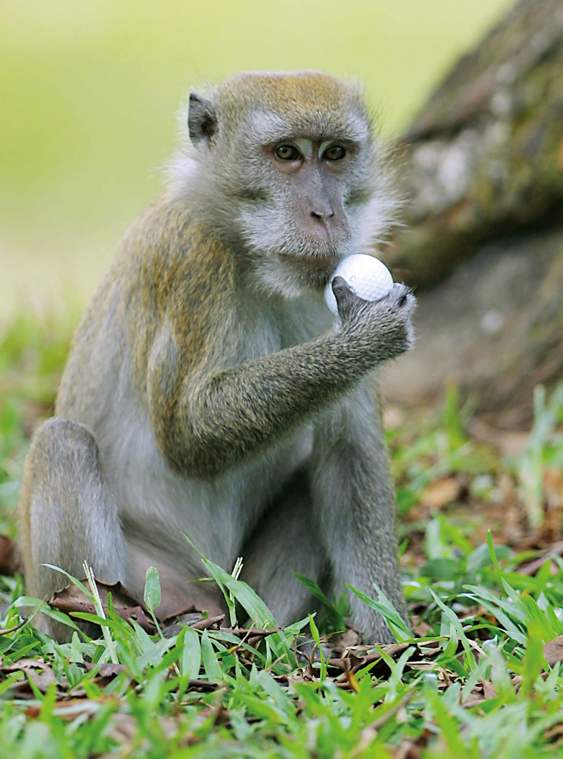 Monkey with golf ball